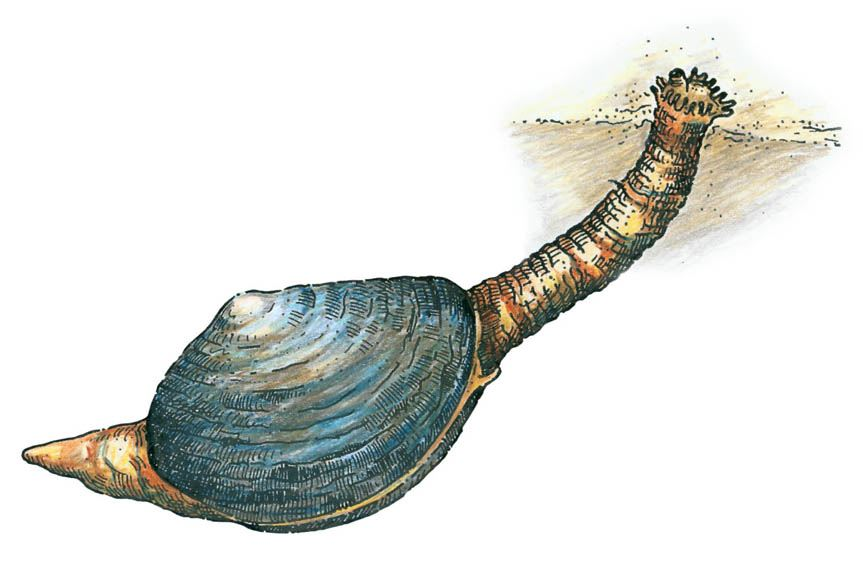 Soft-Shelled Clam