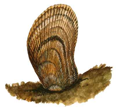 062-Atlantic_Ribbed_Mussel
