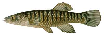063-Striped_Killifish
