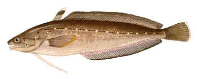 106-Spotted_Hake