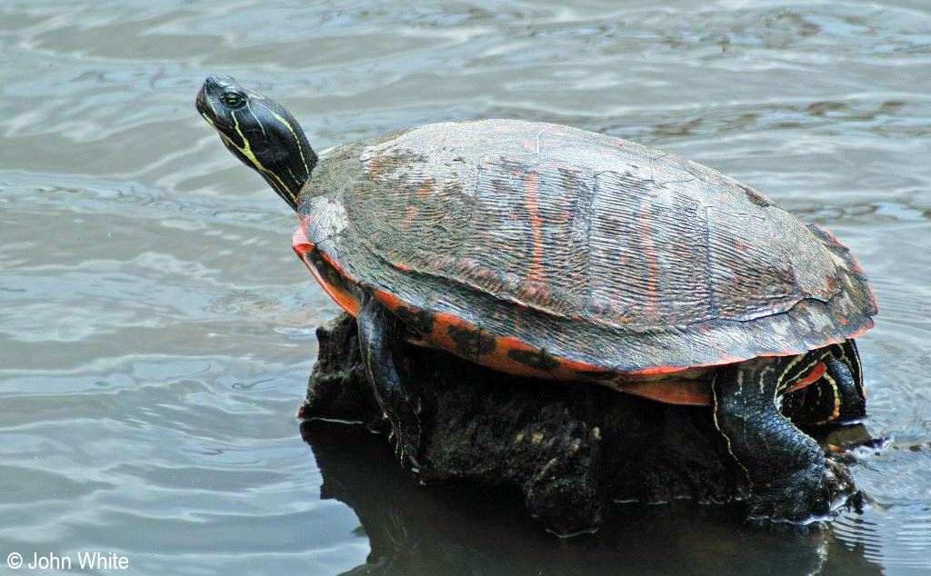 red-belliedcooter2-John_White
