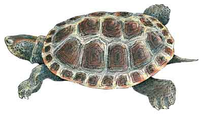 Diamond Backed Terrapin