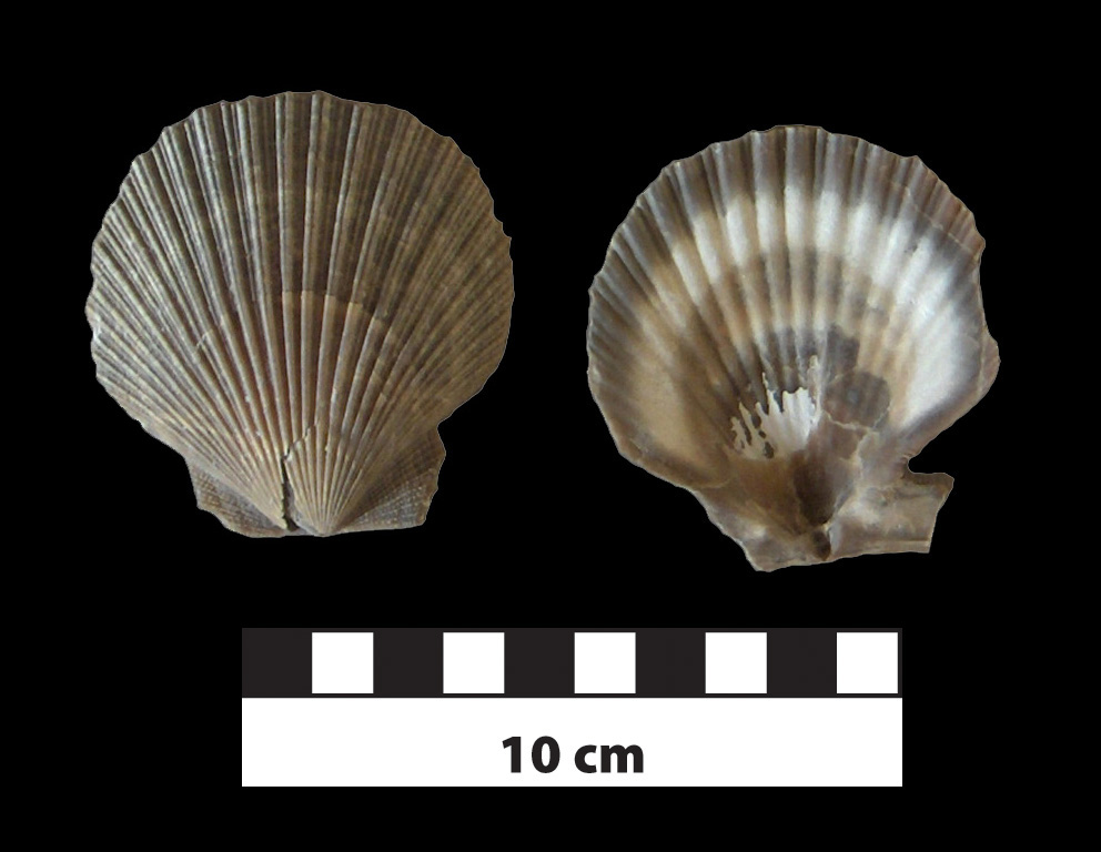 Chesapecten marylandica