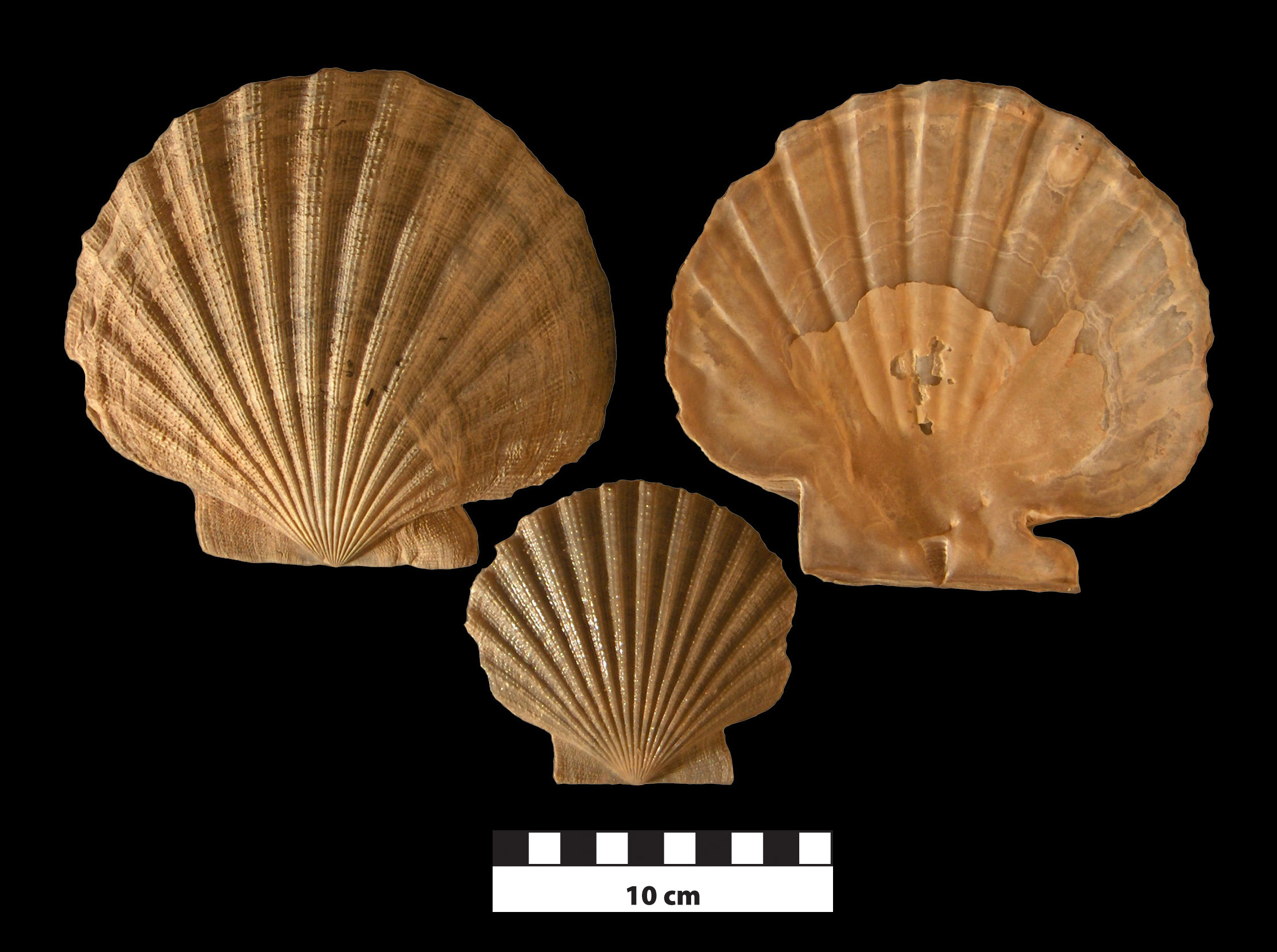 Chesapecten nefrens